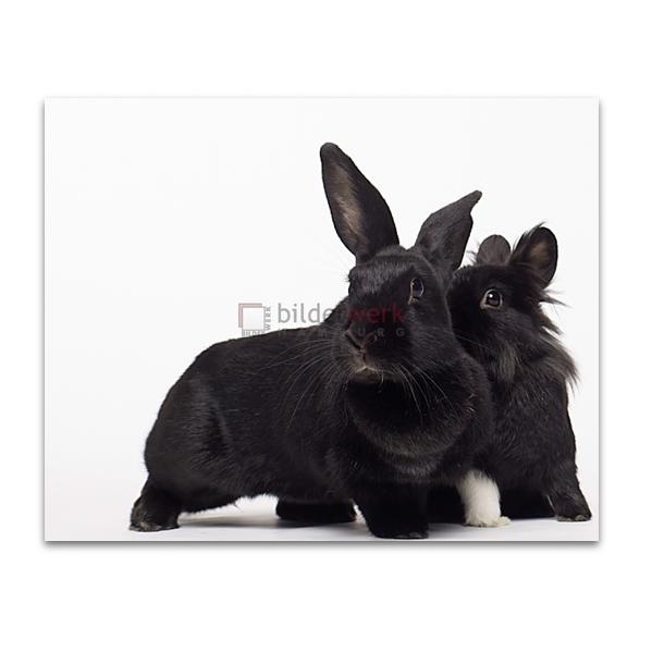 Rabbit 24